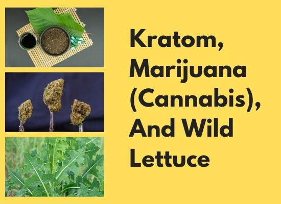 Kratom, Marijuana (Cannabis), And Wild Lettuce