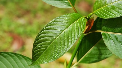 The best kratom review