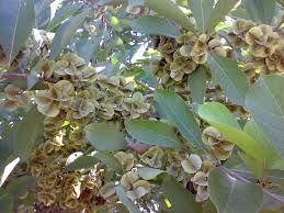 Combretum quadrangulare alternative to Kratom
