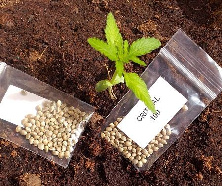 Purchase UK Cannabis Seeds