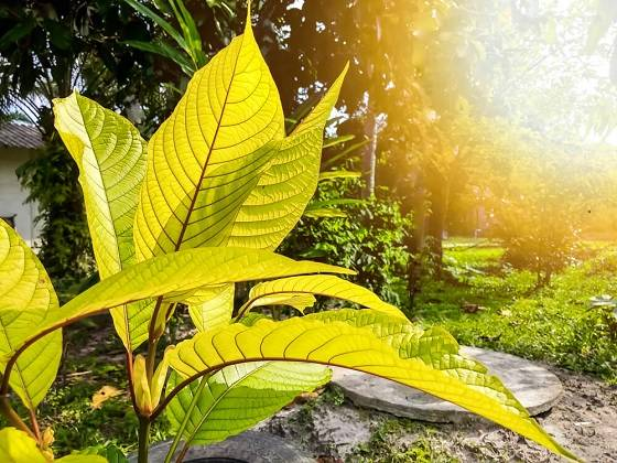 Kratom In Cook County, Illinois