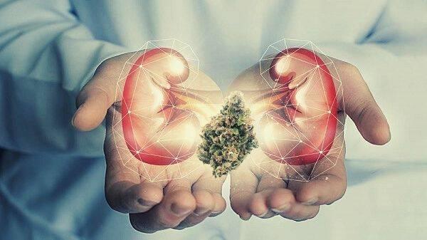 Efects of CBD on Kidneys
