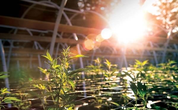 Growing Marijuana Outdoors